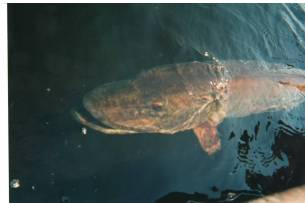 A muskie near the surface