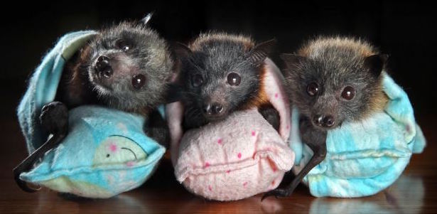 Orphaned baby flying foxes in a bat sanctuary.