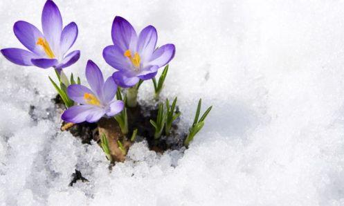 crocus_snow
