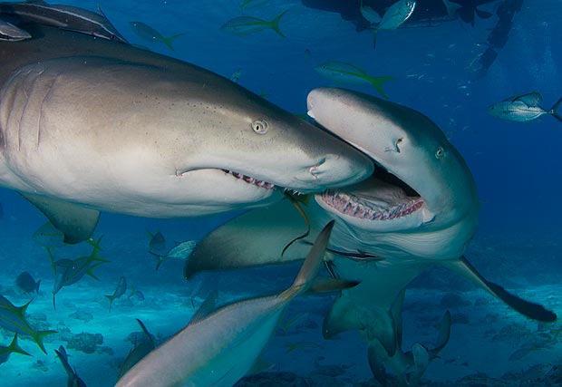 shark-1_1587059a