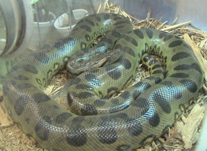 Green anaconda in captivity. Photo: LA Dawson/Wikipedia