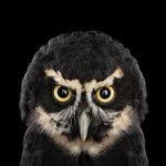 psspectacledowl1